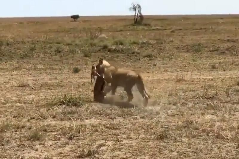 Vấp ngã khi chạy trốn, linh dương Antilope bị sư tử hạ sát. Do bị vấp ngã trong lúc chạy trốn nên linh dương Antilope đã bị sư tử cái bắt được và ăn thịt. (CHI TIẾT)
