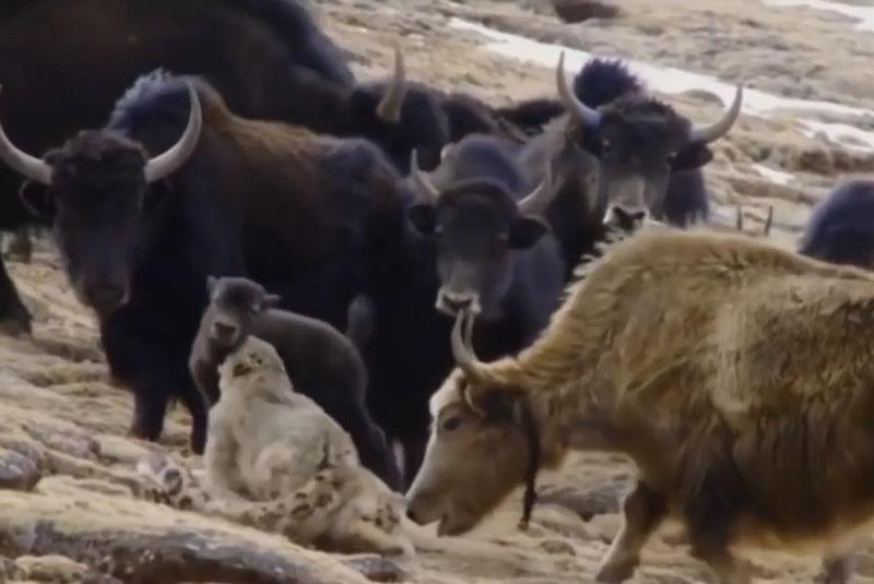 Bò Tây Tạng húc văng báo tuyết lên trời để cứu con. Việc liều lĩnh lao vào giữa đàn bò Tây Tạng để săn mồi đã khiến con báo tuyết phải trả giá đắt khi bị húc văng lên trời. (CHI TIẾT)