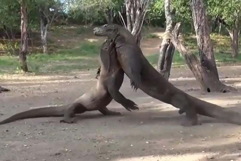 Rồng Komodo đại chiến.