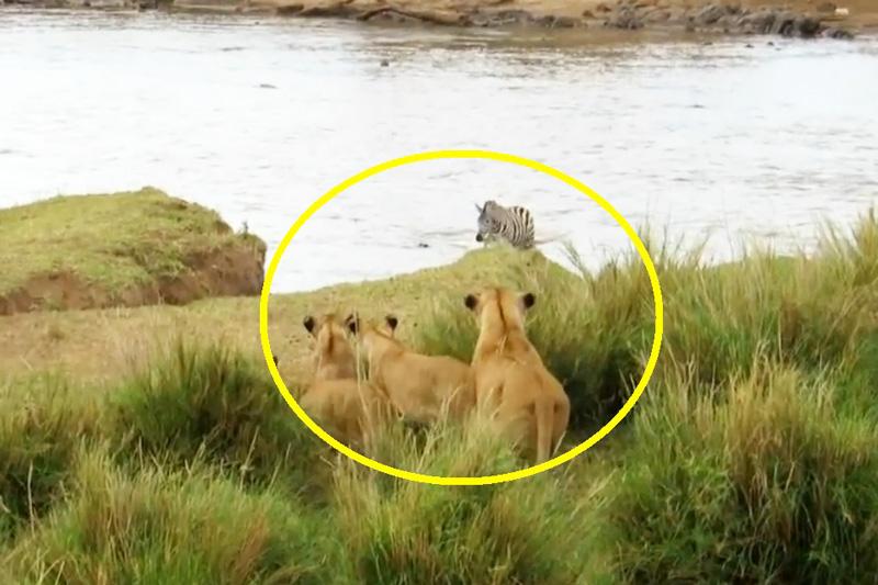 Đàn sư tử bất lực nhìn ngựa vằn chạy thoát. Mặc dù đông quân số hơn, song đàn sư tử vẫn bất lực nhìn cảnh ngựa vằn chạy thoát. (CHI TIẾT)