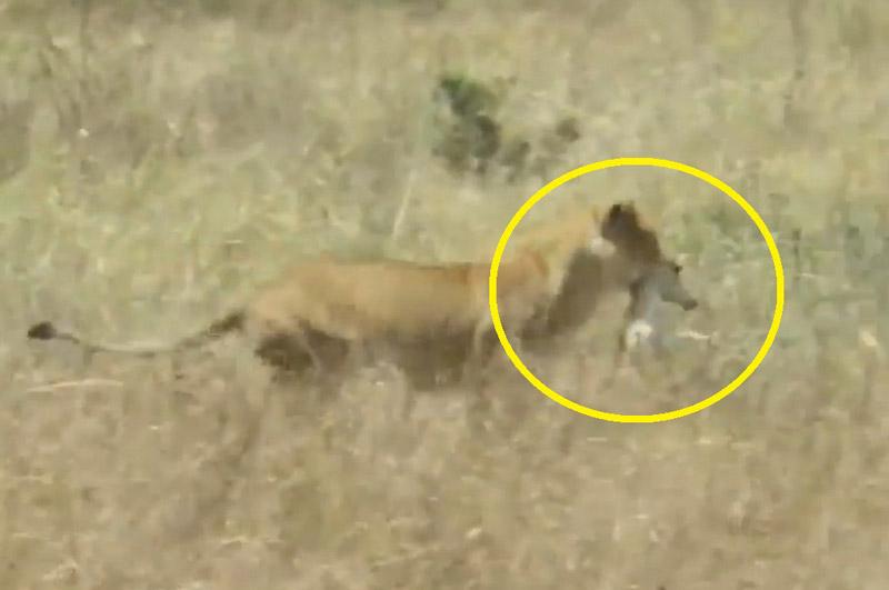 Rình rập tài tình, sư tử dễ dàng bắt được linh dương Impala. Nhờ kỹ năng mai phục tài tình, sư tử cái đã dễ dàng tóm gọn chú linh dương Impala chưa trưởng thành. (CHI TIẾT)