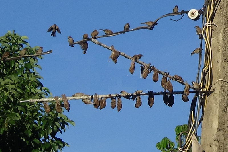 Săn bắt chim sẻ bằng keo dính. Chỉ cần dùng một loại keo không rõ nguồn gốc quấn chặt lên hai cây thép có đường kính khoảng 1cm và dụng cụ phát âm thanh chim gọi bầy, người sử dụng đã dễ dàng tóm gọn từ hàng chục đến hàng trăm con chim sẻ chỉ sau ít phút làm bẫy. (CHI TIẾT)