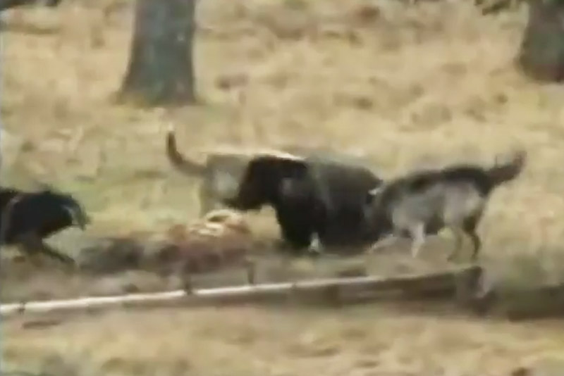 Bị đàn sói xám tấn công, gấu xám vội vàng bỏ chạy. Do thua thiệt về quân số nên gấu xám Bắc Mỹ đã phải bỏ chạy sau màn giao đầu với bầy sói xám. (CHI TIẾT)