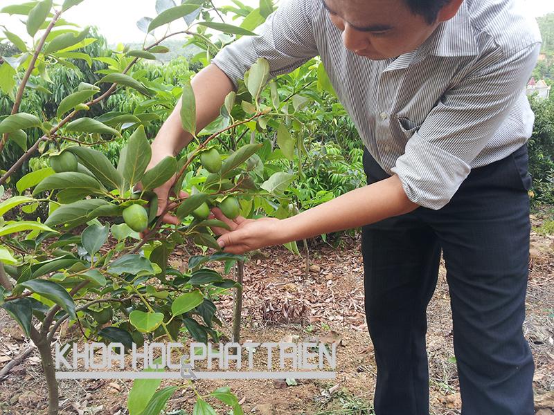 Cây hồng Điện Biên trồng được 3-4 năm tuổi bắt đầu cho quả. Ảnh: Quang Thưởng