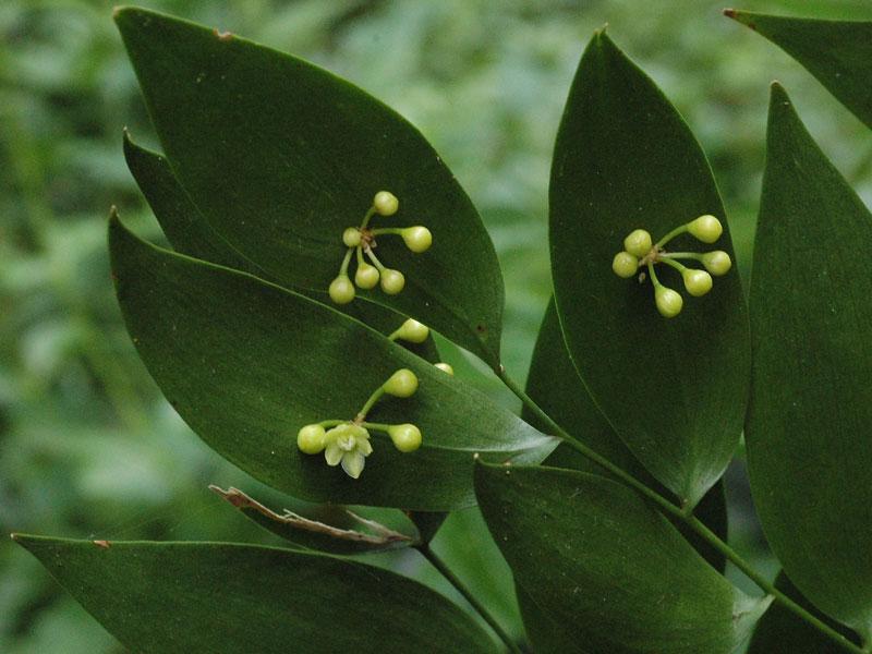 Loài này được (L.) Kunth miêu tả khoa học đầu tiên năm 1850.