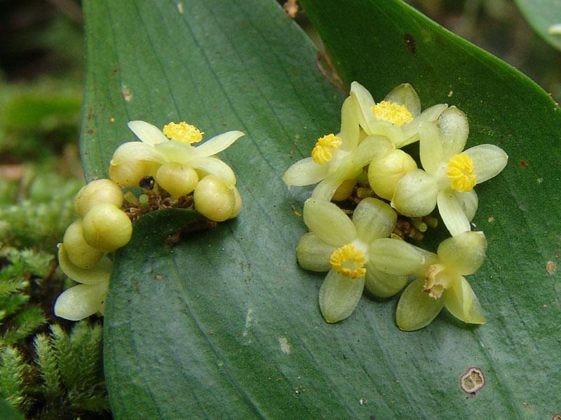 Semele androgyna là một loại cây bụi thường xanh.