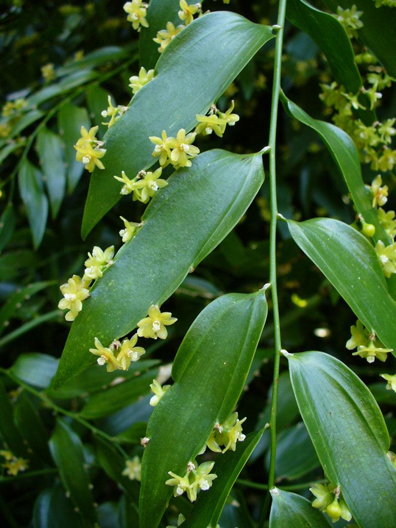 Hoa Semele androgyna thường có màu vàng nhạt.