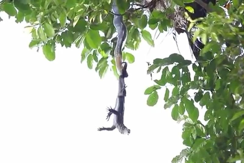 Rắn hổ mang chúa đu mình trên cây tấn công kỳ đà. Đoạn video sau đây ghi lại cảnh rắn hổ mang chúa đu mình trên cành cây cao để tấn công con kỳ đà. (CHI TIẾT)