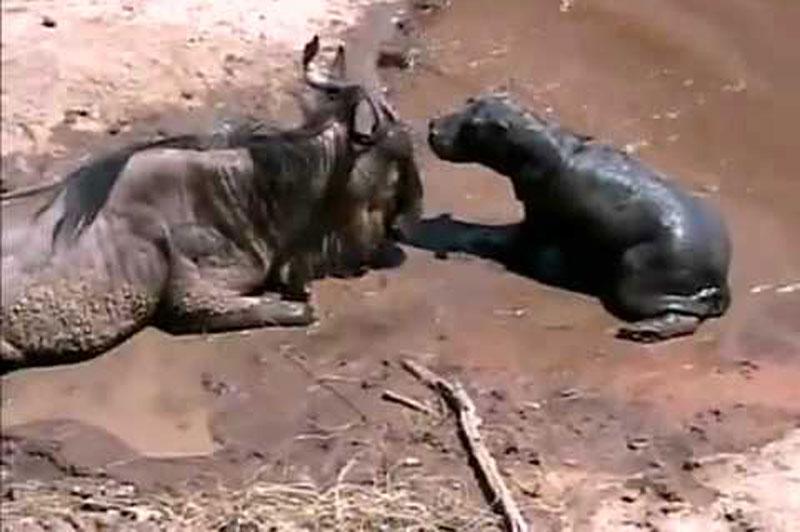 Hà mã con lầm tưởng linh dương đầu bò là mẹ. Một cảnh tượng đau lòng đã xảy ra tại vườn quốc gia Serengeti ở Kenya khi chú hà mã con lầm tưởng con linh dương đầu bò bị chấn thương là mẹ để rồi cả hai cùng tử nạn bên bờ sông. (CHI TIẾT)