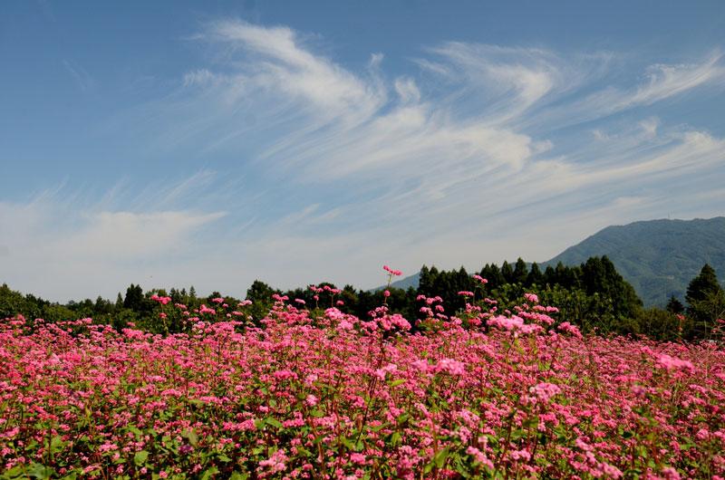 Cây được trồng ở Trung Quốc, Nhật Bản và nhiều nước châu Âu từ thế kỷ 15.