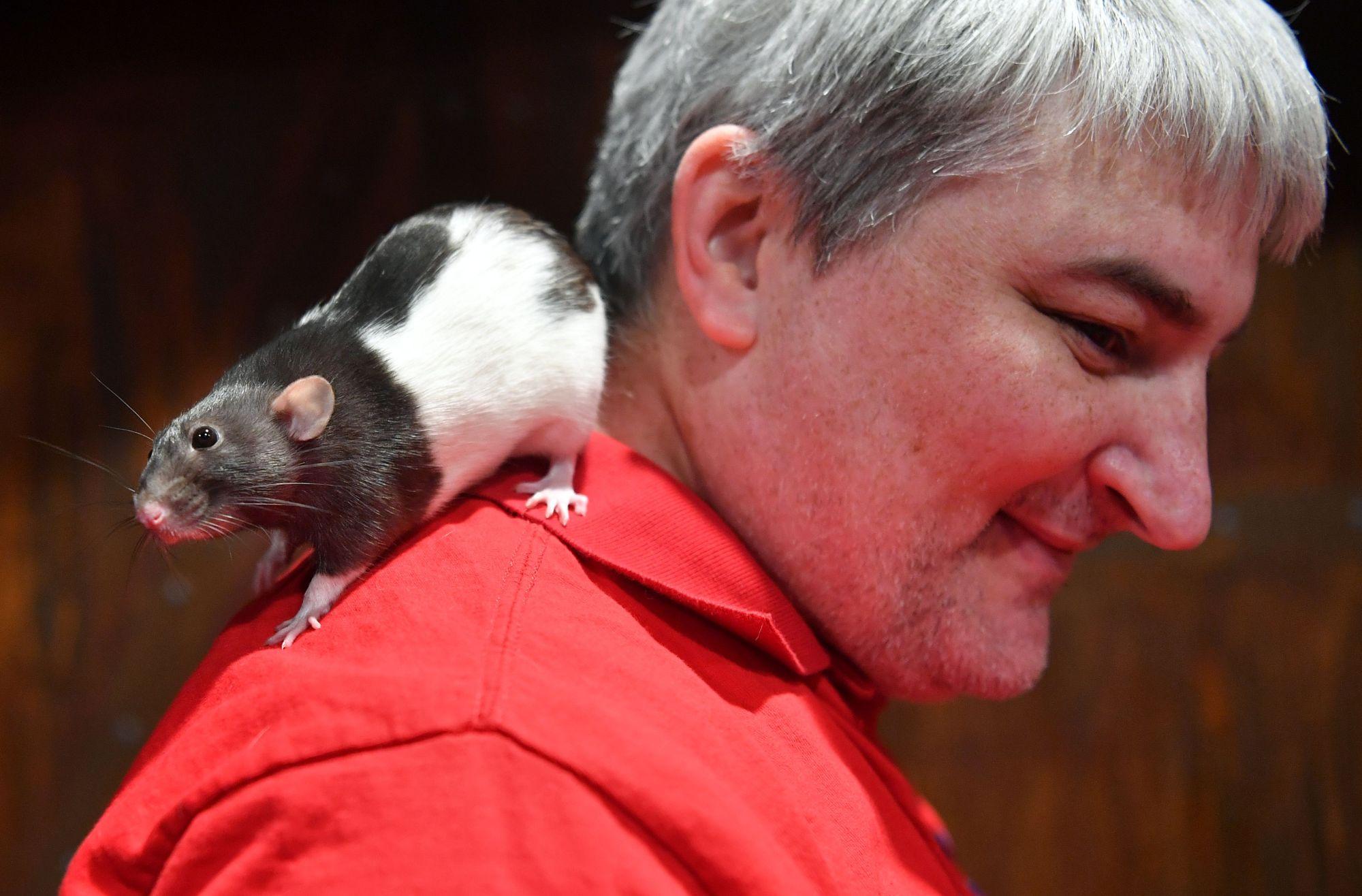 Con chuột Charlotte trên vai một người đàn ông tại quán Cà phê chuột. Ảnh: Japantimes