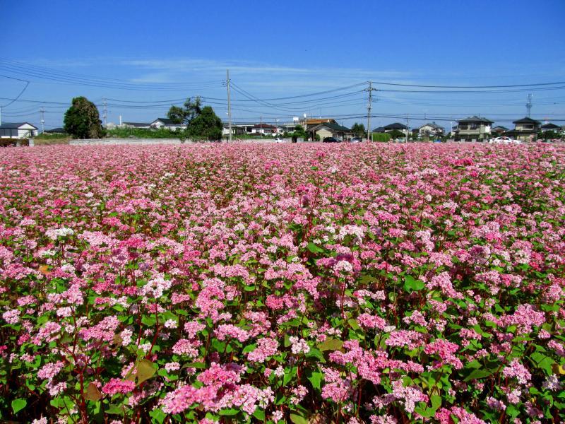 Hoa tự chùm mọc ở đầu nhánh hoặc nách lá, hoa đơn tính, vòng bao hoa màu trắng hoặc đỏ phớt hồng. Mùa hoa từ tháng 6-10.