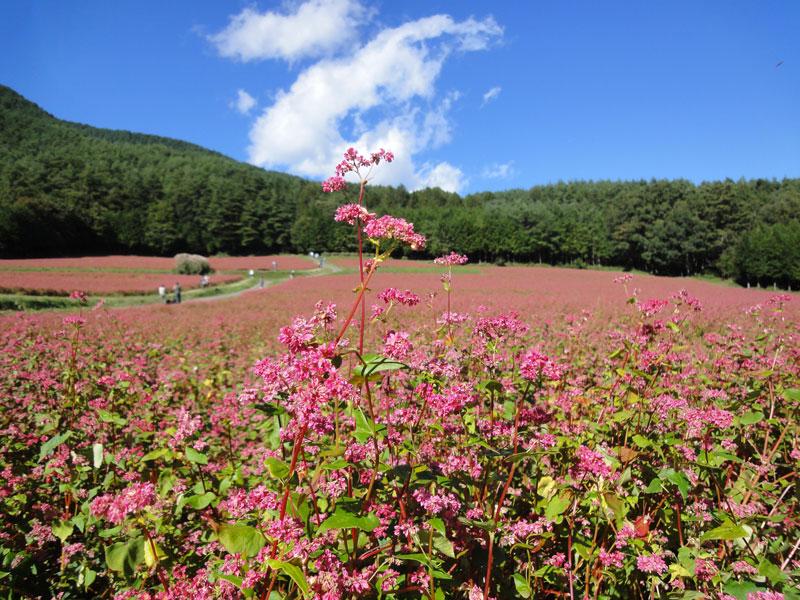 Hạt có nội nhũ bột. Qùa quả từ tháng 6-11, ở một số khu vực mùa hoa quả có thể muộn hơn.