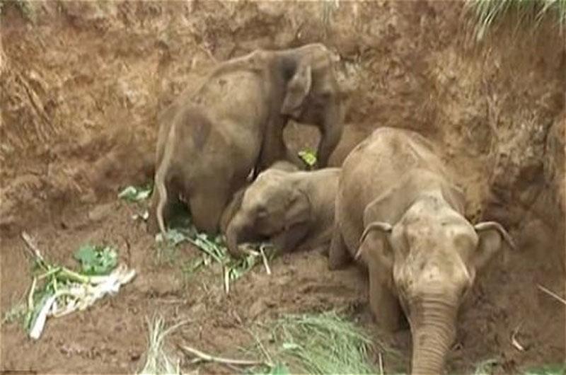 Giải cứu 4 chú voi bị rơi xuống giếng giữa đồng. Vào hôm 20/9 vừa qua, những người nông dân ở Sri Lanka đã phối hợp với nhà chức trách trong việc giải cứu 4 chú voi chưa trưởng thành bị rơi xuống một cái giếng cạn ở giữa đồng. (CHI TIẾT)
