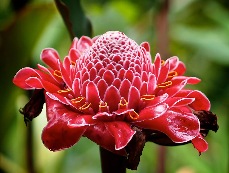 Hoa mọc thẳng từ gốc và phát triển theo chiều thẳng đứng, cánh hoa cứng, bóng láng, không mùi thơm, nếu chăm sóc tốt đường kính hoa có thể đạt đến 25cm.
