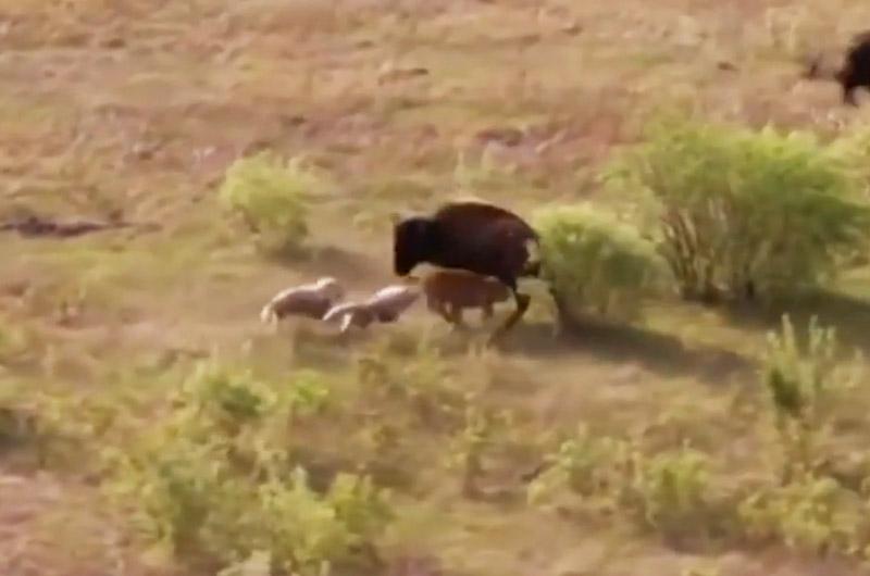 Bò rừng bison chiến đấu với chó sói bảo vệ con. Khi đứa con nhỏ của mình bị chó sói tấn công, bò rừng bison mẹ đã liều mạng chiến đấu với kẻ săn mồi để bảo vệ con. (CHI TIẾT)