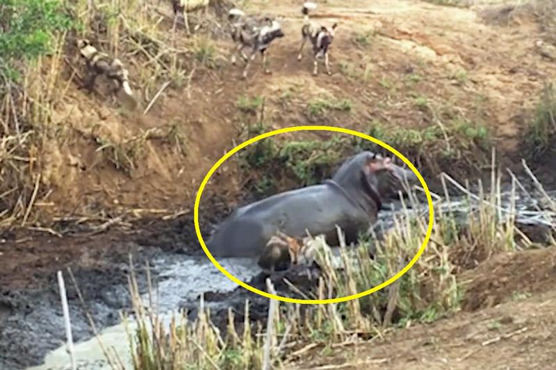 Hà mã cứu linh dương thoát khỏi nanh vuốt đàn chó hoang. Chú linh dương Antelope chưa trưởng thành đã bị đàn chó hoang châu Phi tấn công và đứng trước ranh giới giữa sự sống và cái chết. Đúng lúc đó, hà mã bất ngờ lao tới đuổi bầy chó hoang và giúp nó thoát nạn. (CHI TIẾT)
