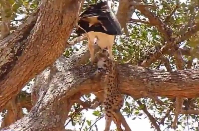 Đại bàng bỏ mạng vì cả gan bắt báo săn con. Sau khi bắt báo săn con lên cây để ăn thịt, đại bàng đã bị báo mẹ giết hại để trả thù cho con. (CHI TIẾT)