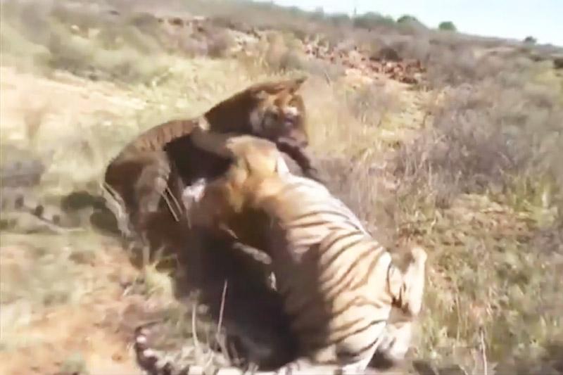 Cuộc chiến sinh tử giữa 2 con hổ. Sau khi chạm mặt, 2 con hổ đã lao vào cắn xé nhau vô cùng ác liệt. Trải qua một hồi giao chiến, con hổ có thân hình nhỏ hơn đôi chút đã phải bỏ mạng. (CHI TIẾT)