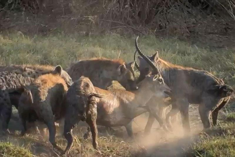 Quá ham chiến, linh dương bị linh cẩu xé xác. Việc quá ham tấn công đã khiến con linh dương bị bầy linh cẩu tóm gọn và xé xác. (CHI TIẾT)