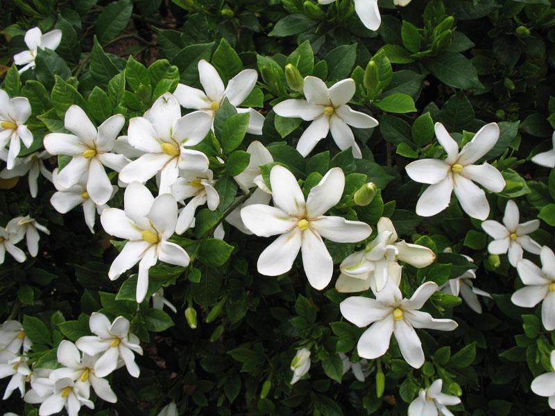 Chi dành dành có tên khoa học là Gardenia.