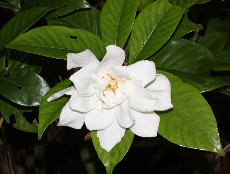 Hoa dành dành còn được dùng làm trà.