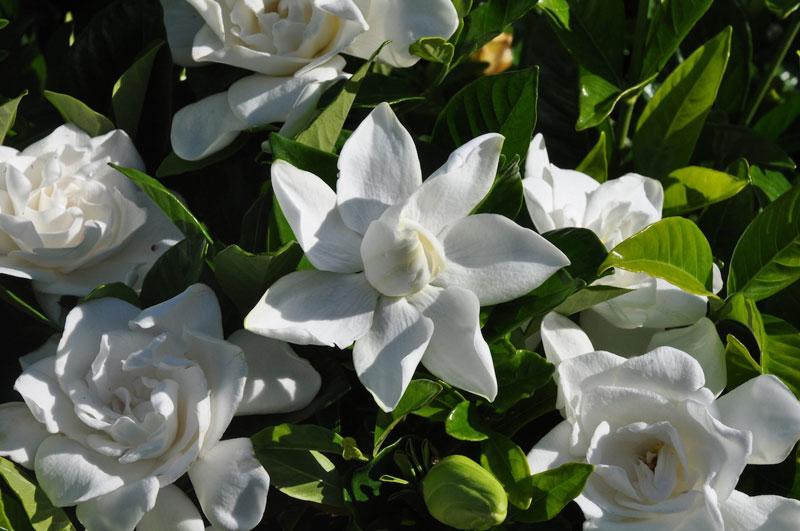 Chi này có khoảng 250 loài, nằm trong họ Thiến thảo (Rubiaceae).