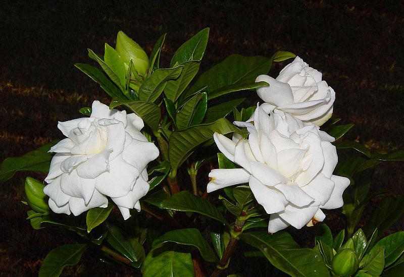 Chúng là các loại cây thường xanh dạng cây bụi và các cây thân gỗ nhỏ cao từ 1 - 15m. Lá của chúng mọc đối hay thành vòng của 3 - 4 lá, dài từ 5 - 50cm và rộng từ 3 - 25cm, có màu lục thẫm và bóng mặt với kết cấu giống như da thuộc.
