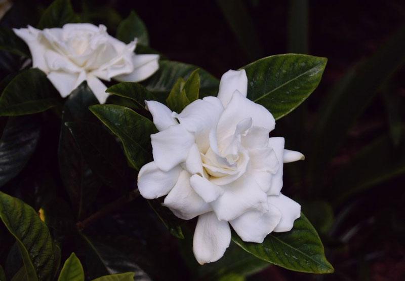 Các hoa mọc đơn hay thành cụm nhỏ, có màu trắng hay vàng nhạt, với tràng hoa hình ống có 5 - 12 thùy hoa, đường kính 5 - 12cm.