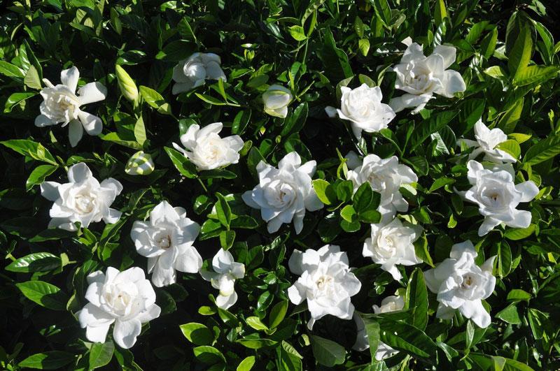 Loại cây này ra hoa từ khoảng giữa mùa Xuân đến giữa mùa Hè và nhiều loài có mùi thơm rất mạnh.