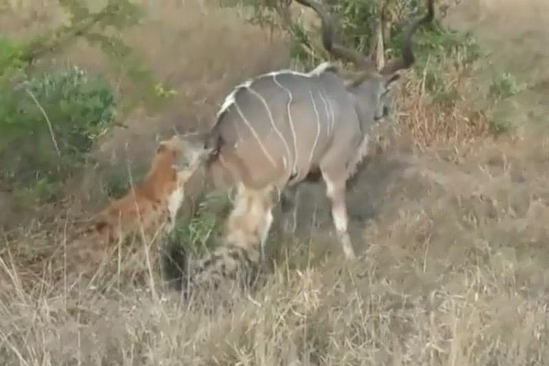 2 con linh cẩu hạ linh dương vằn Kudu to lớn. Tuy có thân hình to lớn hơn rất nhiều nhưng linh dương vằn Kudu vẫn bị 2 con linh cẩu tấn công và ăn thịt khá dễ dàng. (CHI TIẾT)