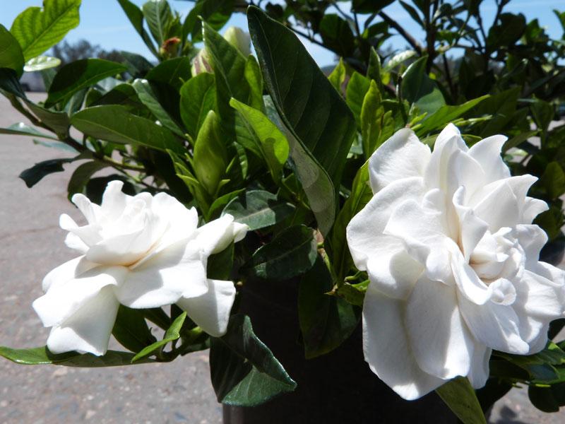 Cây hoa dành dành còn được trồng chậu trang trí ban công, hiên nhà, hương thơm của hoa lan tỏa khắp không gian, cải thiện sức khỏe các thành viên trong gia đình.