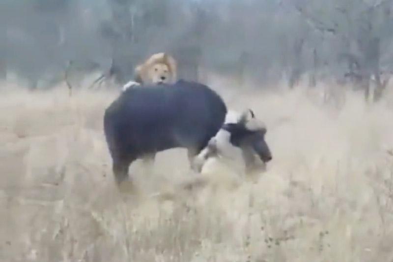 2 con sư tử đực cùng nhau giết trâu rừng.