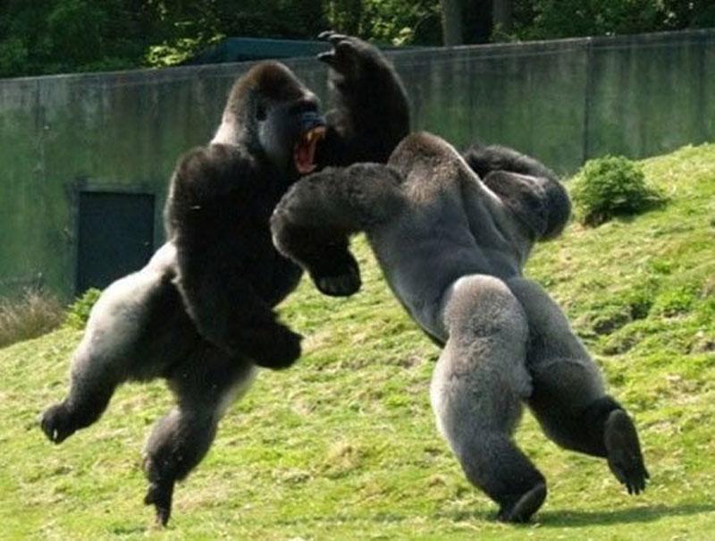 10 cuộc chiến ấn tượng nhất trong thế giới động vật. Từ trước đến nay, con người đã được chứng kiến vô vàn cuộc đại chiến giữa các loài động vật. Dưới đây là 10 trận đấu ấn tượng nhất. (CHI TIẾT)