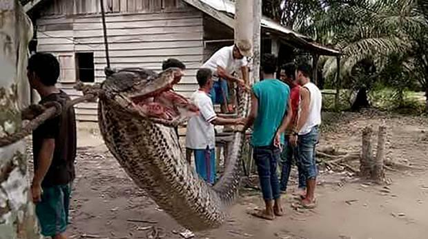Con trăn khổng lồ được trưng bày trong làng trước khi bị xẻ thịt. Ảnh: Dailymail