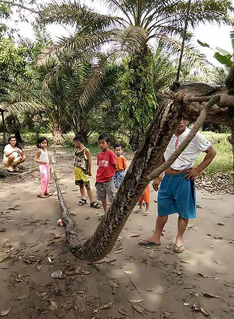 Dân làng đang đứng cạnh con trăn dài 7,8 mét ở Indonesia. Ảnh: Dailymail