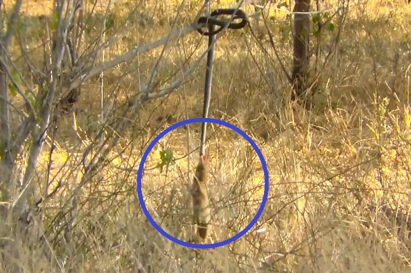 Cầy Mangut liên tục đu mình kéo rắn xuống đất. Sau khi cắn chết con rắn, cầy Mangut liên tục bật nhảy và đu mình để kéo loài động vật bò sát rơi xuống mặt đất. (CHI TIẾT)