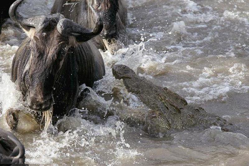 Mải uống nước, linh dương đầu bò chết thảm. Cơn khát đã khiến những con linh dương đầu bò cố gắng uống thật nhiều nước dưới dòng sông và lơ là việc cảnh giác. Điều này khiến chúng dễ dàng bị cá sấu giết chết. (CHI TIẾT)