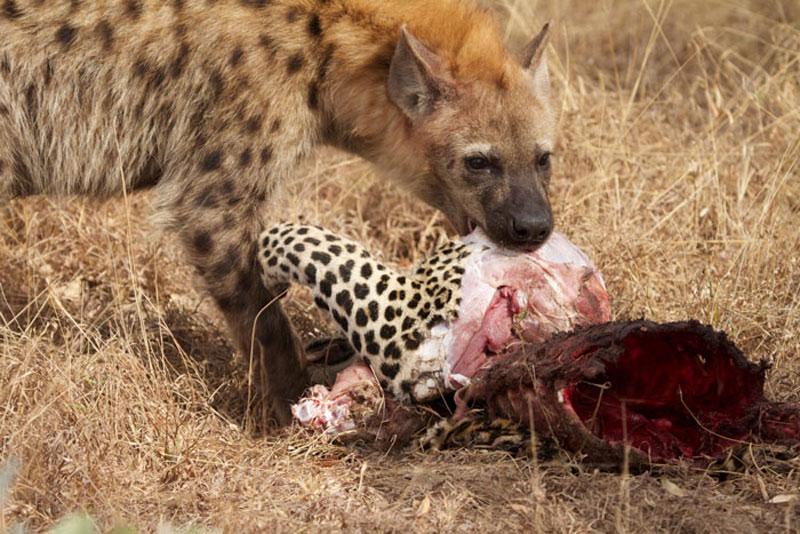 """Những khoảnh khắc săn mồi kinh hoàng của linh cẩu. Với kích thước khá lớn, cộng thêm việc sở hữu bộ hàm chắc khỏe và hay săn mồi theo bầy đàn, linh cẩu chính là một trong những loài động vật ăn thịt """"khét tiếng"""" nhất trên các vùng đồng cỏ ở châu Phi. (CHI TIẾT)"""