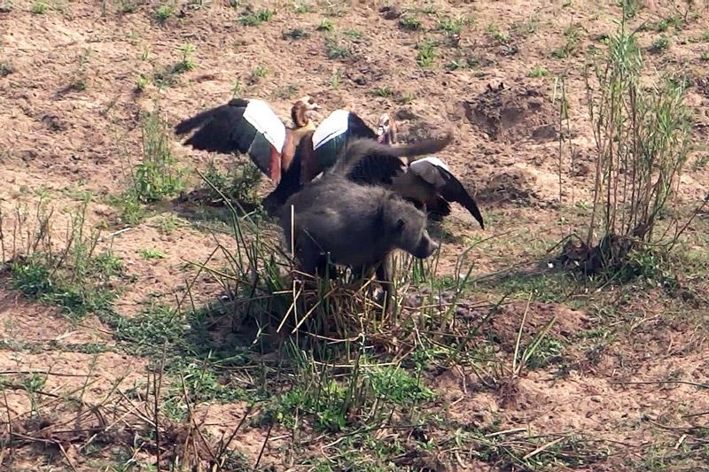 Ngỗng chiến đấu ác liệt với khỉ đầu chó. Để bảo vệ tổ trứng của mình, 2 con ngỗng đã chiến đấu vô cùng quyết liệt với khỉ đầu chó. (CHI TIẾT)