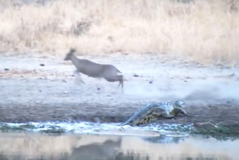 Linh dương Antilope bỏ chạy sau khi bị cá sấu vồ hụt.