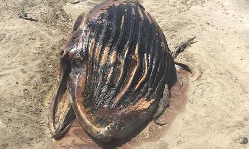 Cá voi lớn mắc cạn trở thành mồi cho đàn cá sấu. Ảnh: News.com.au.