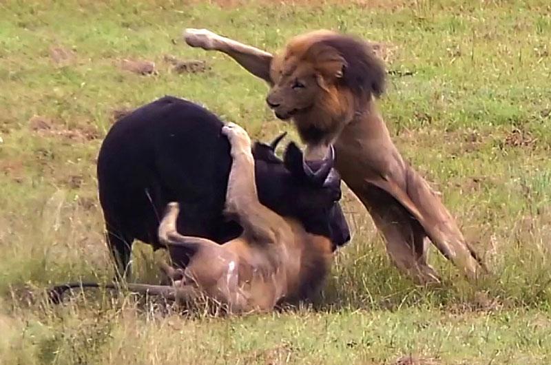 Mẹ con trâu rừng chết thảm trước 3 con sư tử đực. Với chiến thuật săn mồi hợp lý, 3 con sư tử đực đã dễ dàng giết chết hai mẹ con chú trâu rừng trước khi cùng nhau xé xác con mồi. (CHI TIẾT)