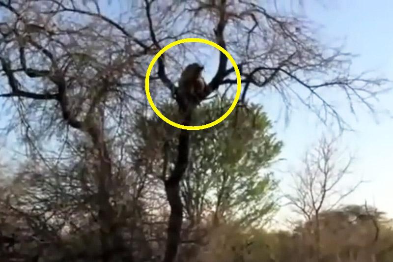 Báo hoa mai tha xác linh cẩu lên cây để ăn thịt. Sau khi bắt được linh cẩu, báo hoa mai đã tha xác đối thủ của mình lên cây để ăn thịt. (CHI TIẾT)