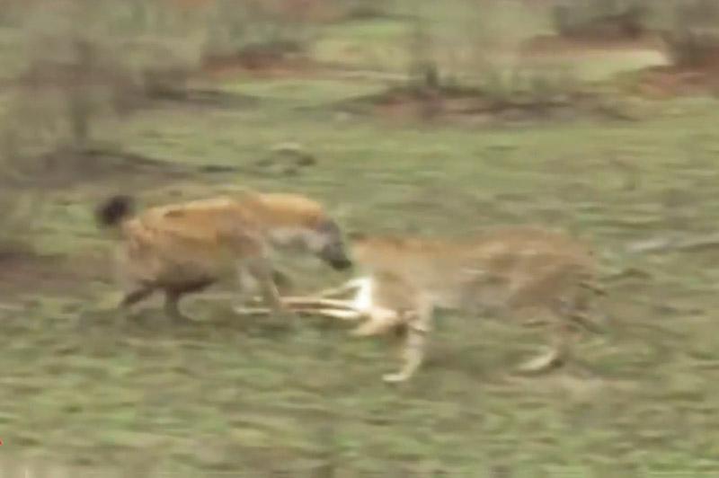 Linh cẩu tranh giành con mồi với báo săn.
