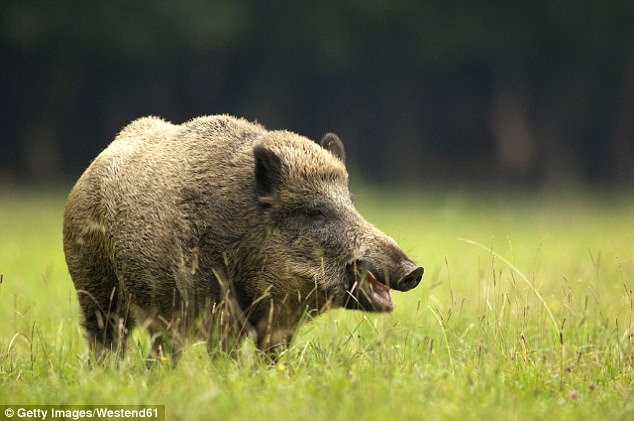 Lợn rừng có nguy cơ tăng độ nhiễm phóng xạ hơn dù thảm họa đã trôi qua hơn 30 năm. Ảnh: Dailymail