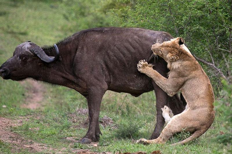 """Voi cứu trâu rừng thoát khỏi hàm sư tử. Sự tò mò của con voi đã vô tình giúp chú trâu rừng tạo ra màn thoát chết thần kỳ trước nanh vuốt của """"lãnh chúa vùng đồng cỏ"""". (CHI TIẾT)"""