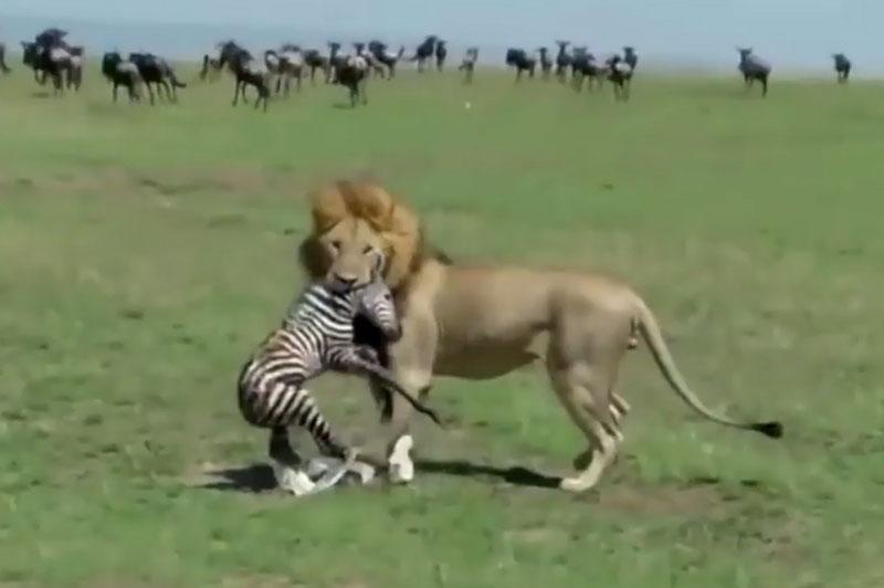 Vừa chào đời, ngựa vằn con đã bị sư tử xé xác. Chỉ sau ít phút chào đời, chú ngựa vằn con đã phải bỏ mạng đầy tiếc nuối khi rơi vào tầm ngắm của con sư tử đực. (CHI TIẾT)
