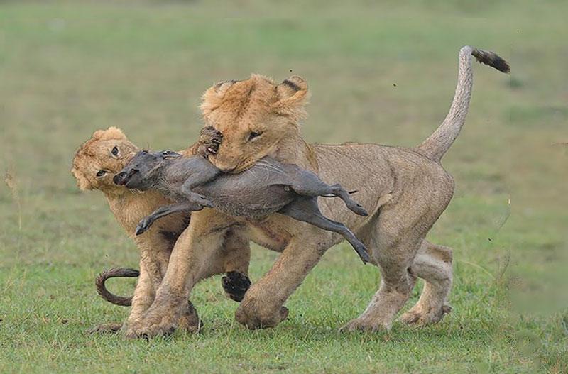 """Bầy sư tử hành hạ lợn bướu con cực kỳ dã man. Dù bầy sư tử dễ dàng tóm được những chú lợn bướu con, nhưng chúng không ngay lập tức giết chết đối thủ. Thay vào đó, """"lãnh chúa vùng đồng cỏ"""" hành hạ con mồi cực kỳ tàn nhẫn rồi mới xé xác. (CHI TIẾT)"""