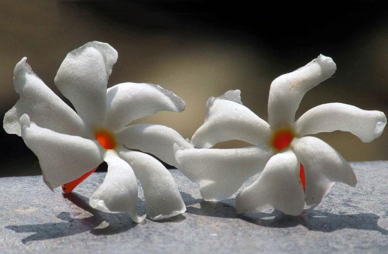 Dạ hoa có tên khoa học là Nyctanthes arbor-tristis.